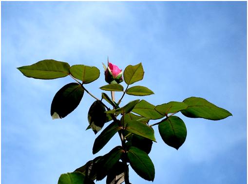 Розовая столица