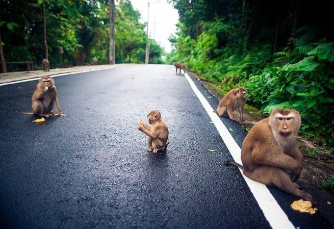 Обезьяны на дороге