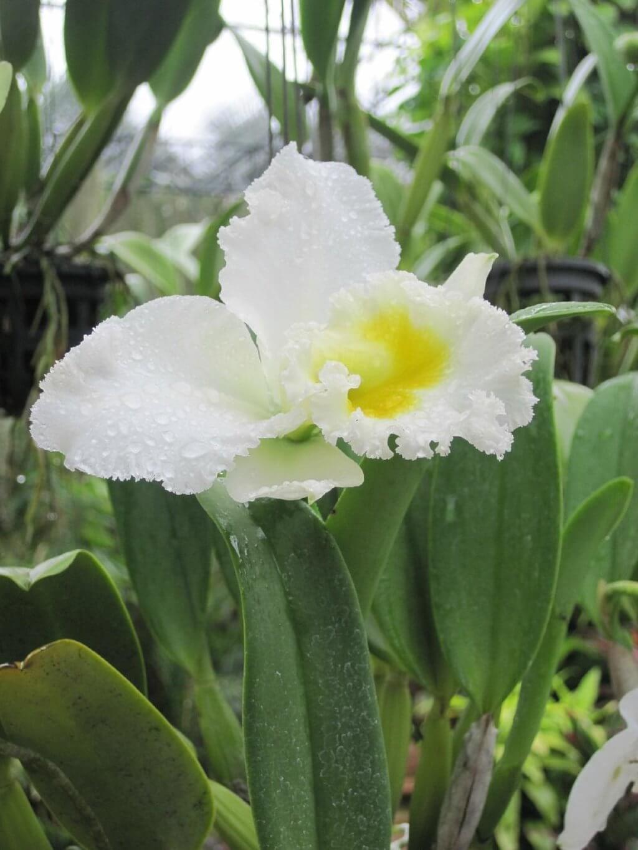 одна из орхидей