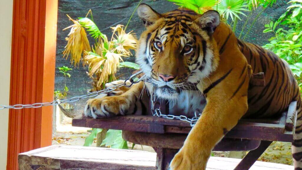 С тигром можно фотографироваться