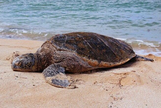Черепаха спешит к воде