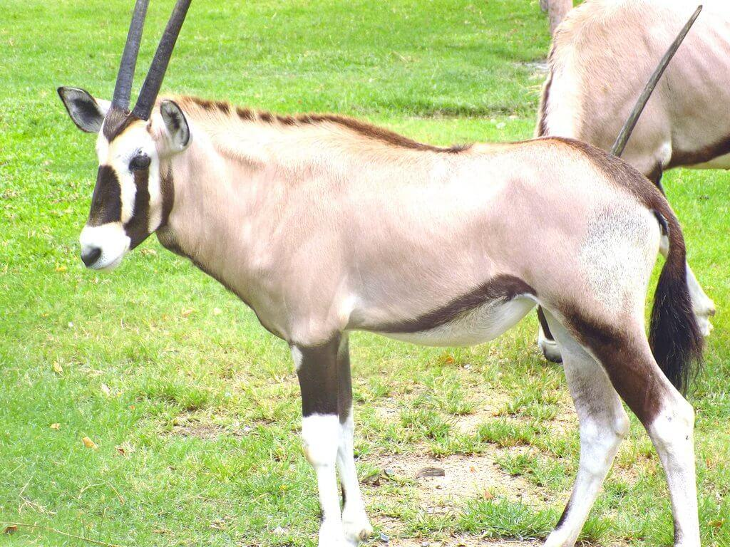 В окружении антилоп