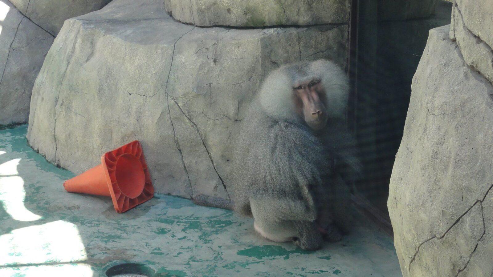 Бабуин удивлен