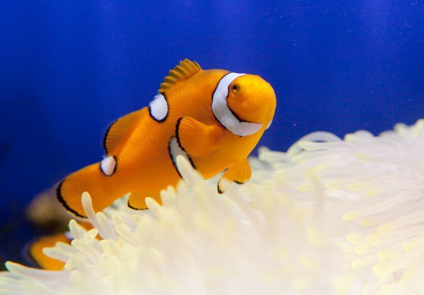Клоун в кораллах