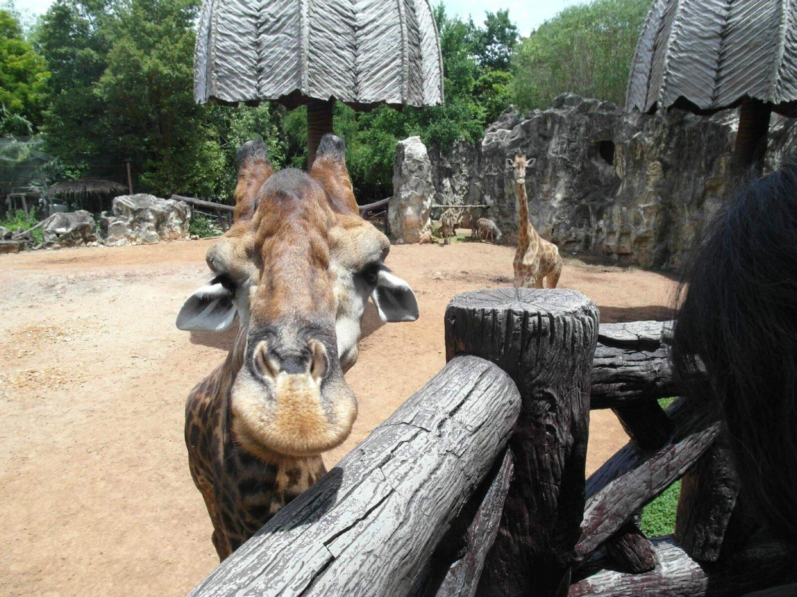 Жираф тянется к людям