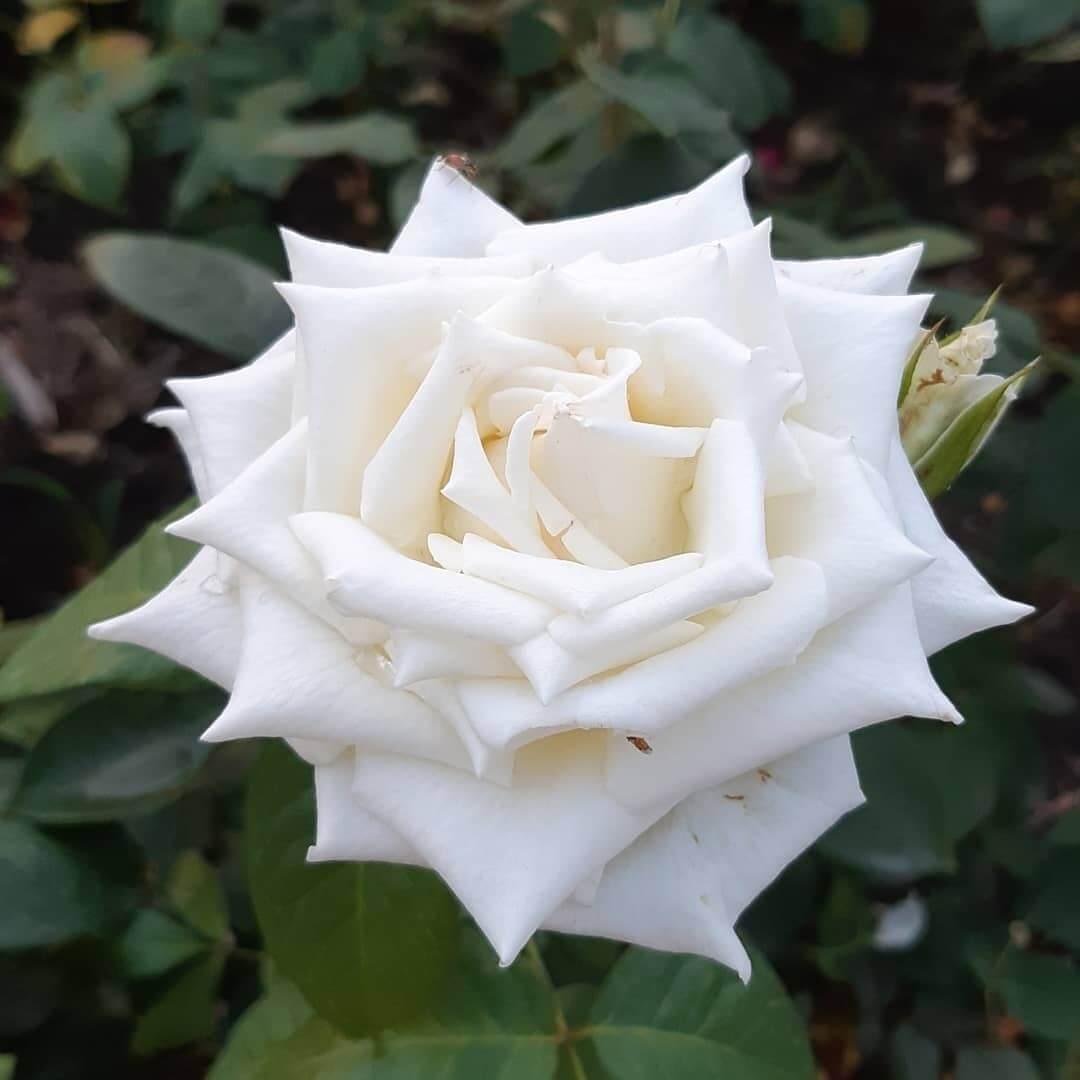 Роза в парке