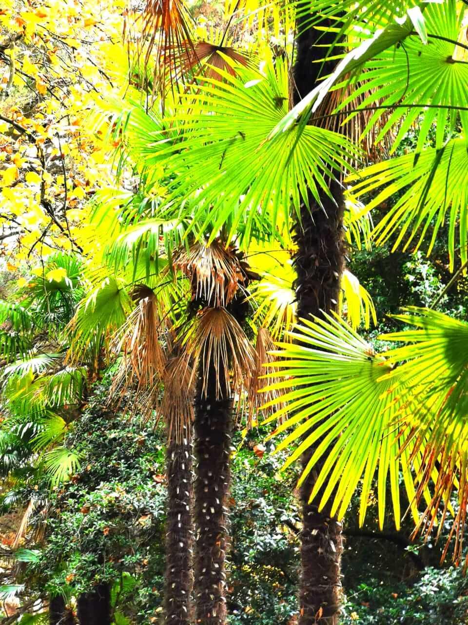 Пальмовые насаждения