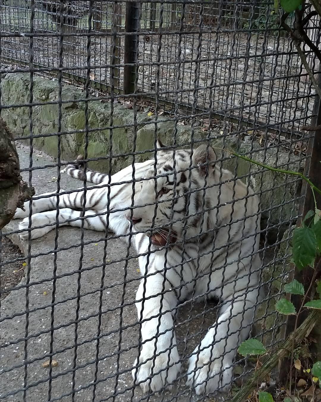 Тигрица Тигрюля
